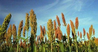Cultivan productores tamaulipeco